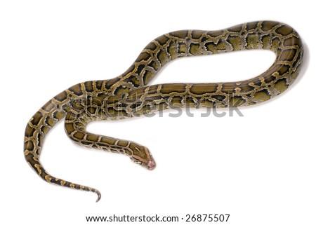 close-up of python snake, isolated on white background - stock photo