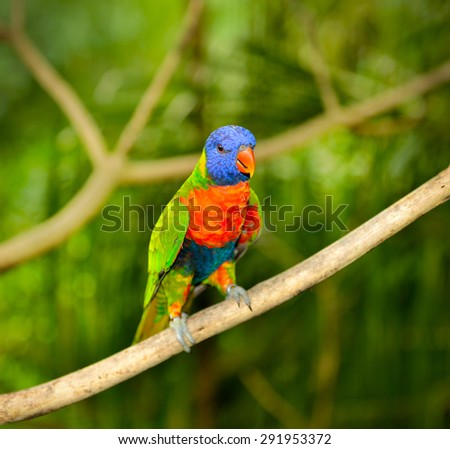 Close up of Rainbow Lorikeet (Trichoglossus haematodus), selective focus.