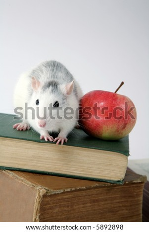 close-up of rat on a stack of books with apple - stock photo