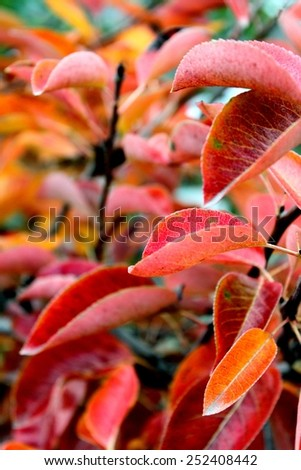 Close up of red autumn leaves for background. - stock photo