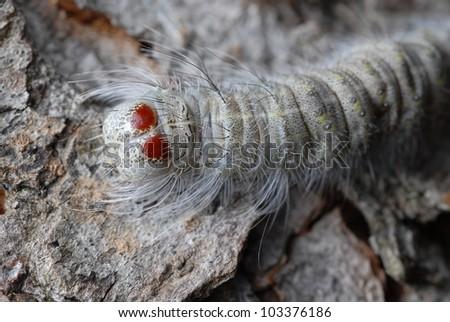 Close-up of Red Eye Caterpillar (Acronicta lobeliae) on a tree - stock photo