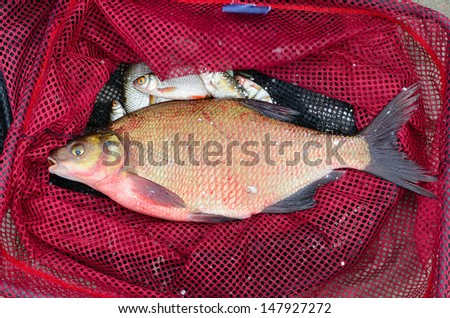 Close up of red fishing net with big bream - stock photo