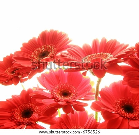 Close-up of red gerbera flowers against white background