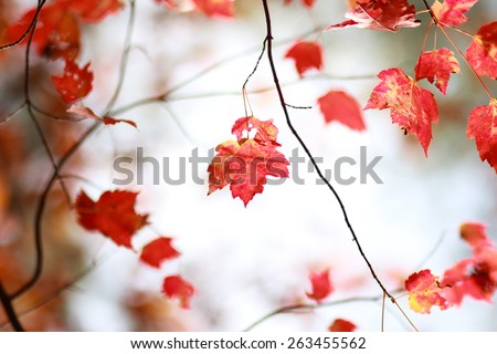Close Up Of Red Maple Leaves Against Bright Forest Background In The Autumn Season - stock photo
