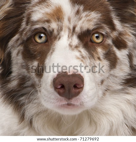 Close-up of Red Merle Border Collie, 6 months old - stock photo