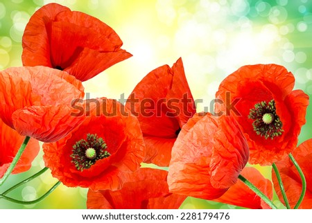 Close up of red poppy flower - stock photo