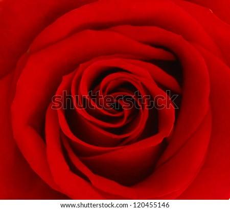 Close up of red rose petal - stock photo
