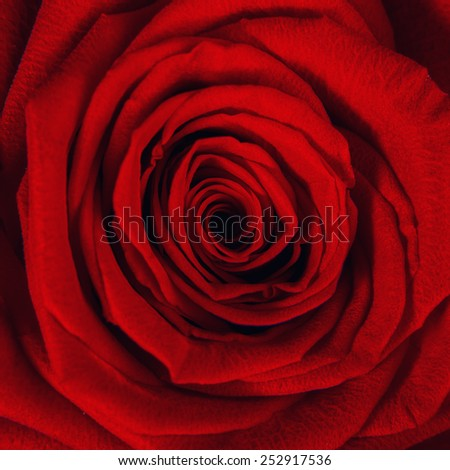 Close up of red rose petal - stock photo