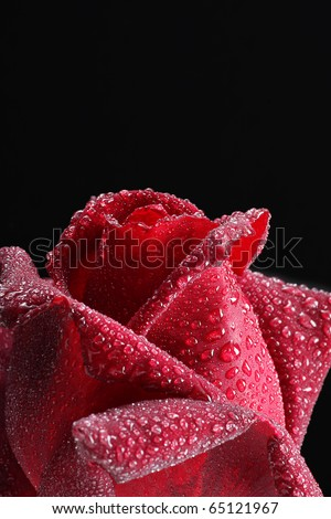 close up of red rose with dew droplets - stock photo