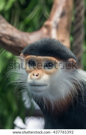 """Close up of  Red-shanked douc is a Vietnamese word meaning """"monkey"""" - stock photo"""
