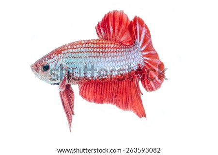close-up of red siamese fighting fish (betta splendens) isolated on white background - stock photo