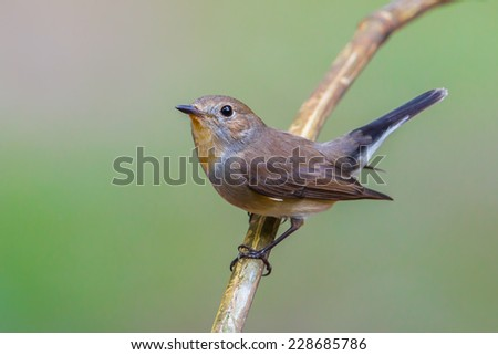 Close up of Red-throated Flycatcher (Ficedula albicilla) in nature of Thailand - stock photo