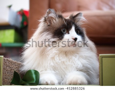 Close up of Regal Long Haired Bi Color Brown White Ragdoll Cat with Blue Eyes and Black Button Nose Sitting in Scratcher Looking to the Side - stock photo
