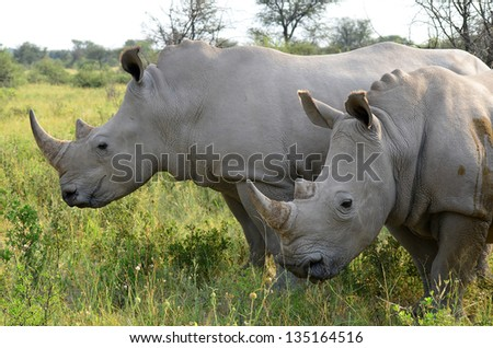 close up of rhino in Khama reserve,Botswana - stock photo
