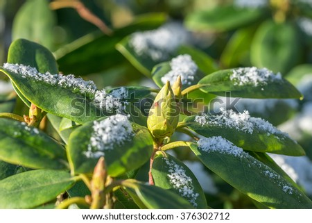 Close up of rhododendron leaves and bud in winter with snow - stock photo