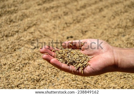 Close up of  rice seed in farmer hand, the harvest on background - stock photo