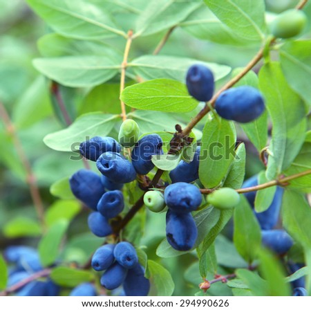 Close up of ripe and juicy honeysuckle berries on the branch, summer background - stock photo