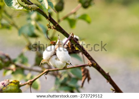 Close-up of Ripe cotton boll on branch - stock photo