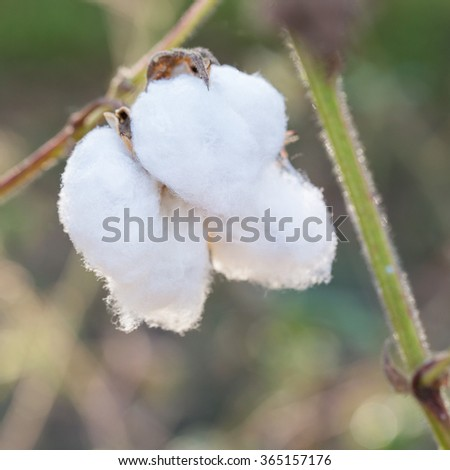 Close-up of Ripe cotton bolls on branch. - stock photo