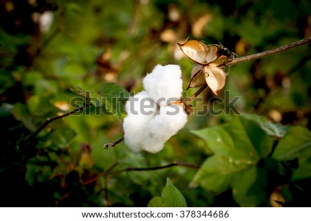 Close-up of Ripe cotton bolls on branch - stock photo
