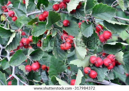 close-up of ripe  hawthorn on tree branch - stock photo