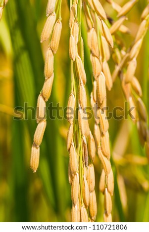 Close up of ripe rice in the paddy, Thailand - stock photo