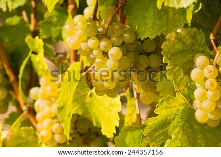Close-up of ripe wine grapes - stock photo