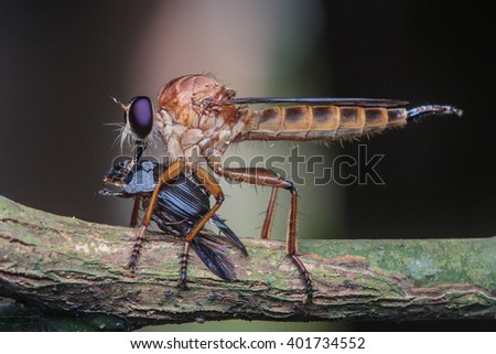 Close up of robber fly (Asilidae) or assassin fly waiting in ambush for its prey , Asilidae, robber fly , Robber fly with prey - stock photo