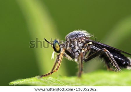 close up of robber fly staying on the green leaf