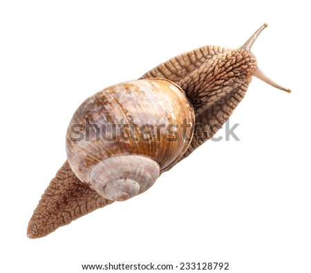 Close-up of Roman snail (Helix pomatia) top view isolated on white background  - stock photo