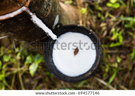 Close up of rubber tapping on top view, Rubber tree