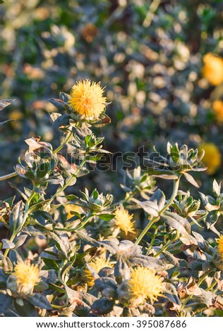 Close-up of safflower in garden - stock photo