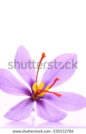 Close up of saffron flower isolated on white background  - stock photo