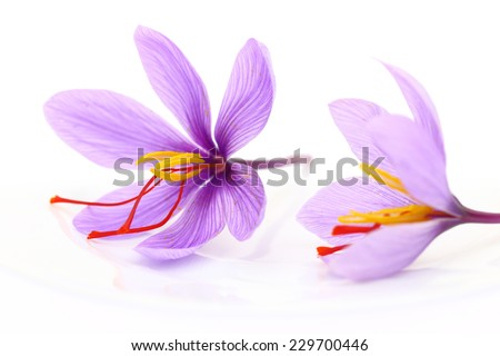 Close up of saffron flowers  - stock photo