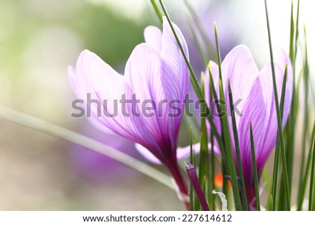 Close up of saffron flowers in a field - stock photo