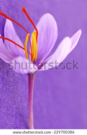 Close up of saffron flowers on purple background - stock photo