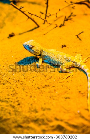 Close Up of Savigny's Agama, Thailand - stock photo