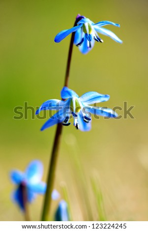Close up of scilla flower in spring