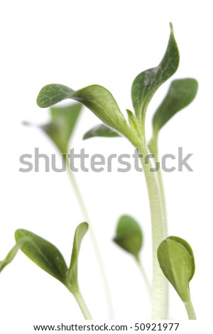 Close up of Seedlings on white - stock photo