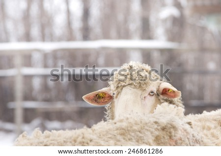 Close up of sheep head standing in flock on farm - stock photo