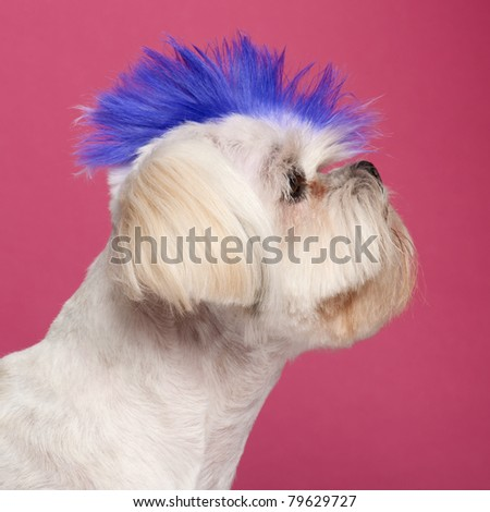 Close-up of Shih Tzu with blue mohawk, 2 years old, in front of pink background