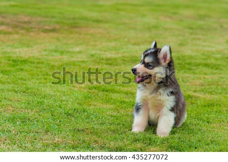 Close up of siberian husky walking on green grass.