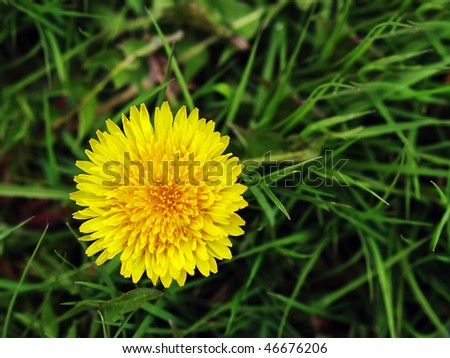 close up of single yellow dandelion on a dark green grass background - stock photo
