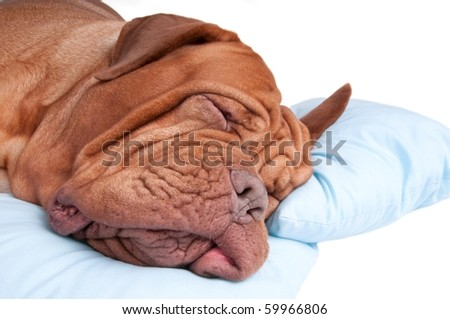 Close up of sleeping dog on a pillow, isolated on white background - stock photo