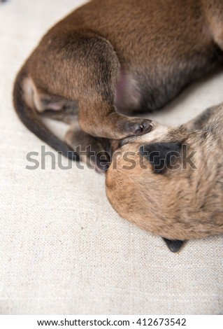 Close up of Sleeping Small Breed Puppies - stock photo