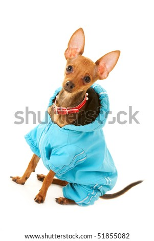 Close-up of small Chinuahua dog in blue clothing