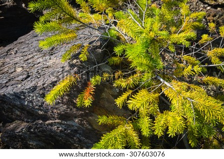 Close Up of Small Green Spruce Tree against Big Black Stone. Top Down View - stock photo