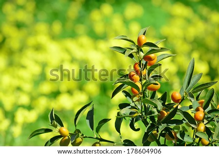 close up of small tangerine with yellow flowers in the background - stock photo