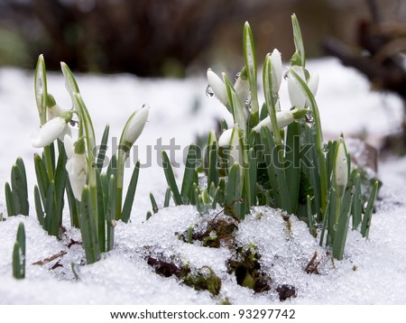 Close up of snowdrops in snow with water drops - stock photo