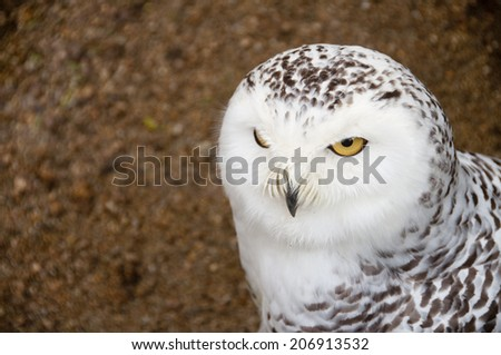 Close up of Snowy owl screaming, opening its beak, with yellow eye - stock photo